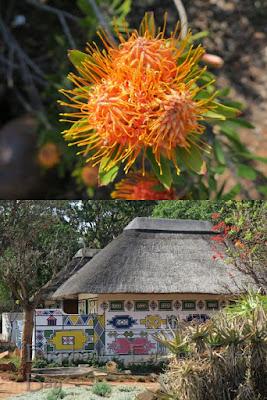 Leucospermum saxosum at Pretoria NBG in September