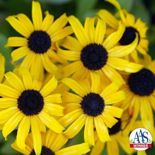 Bright yellow flowers with dark centers.