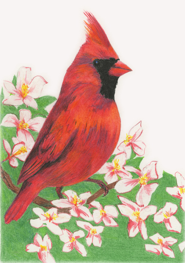 Cardinal Bird Png - Cardinal Drawing - Free Transparent ...  |Cardinal Bird Drawings