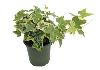 english ivy for indoor