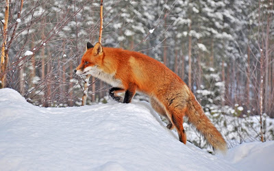 fox in snow widescreen hd wallpaper