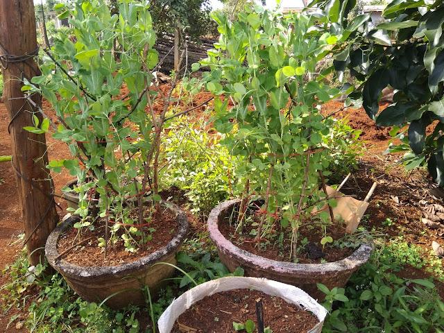trồng đậu hà lan trong chậu
