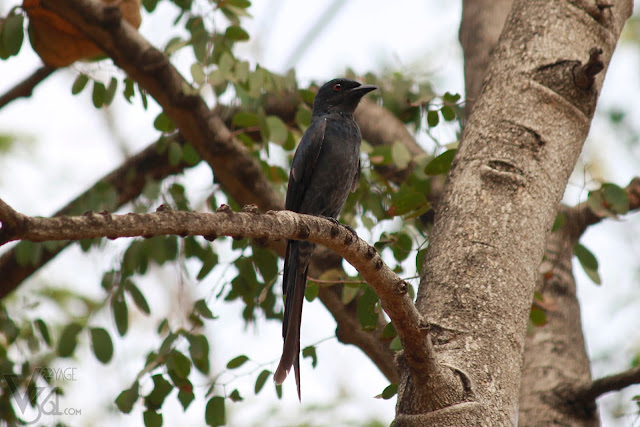 Black Drongo(28 cm) - Davangere