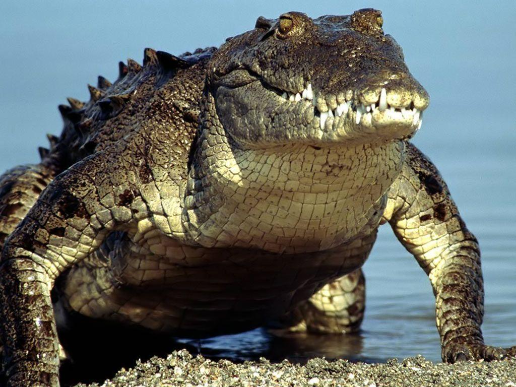 Desktop Wallpapers · Gallery · Animals · Crocodile Alligator, animal wallpaper