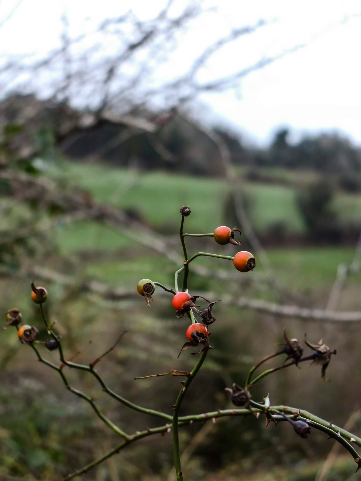 Close up of red rose hips with a hillside in the background.