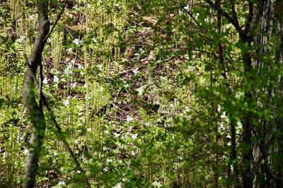 hillside trillium in May
