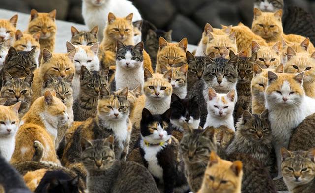 """Đảo Tashirojima (Nhật Bản) là địa điểm du lịch nổi tiếng cho những người yêu mèo. Với dân số chỉ khoảng 100 người, nơi này thường được gọi với tên """"đảo mèo"""". Người dân Tashirojima tin việc cho mèo ăn sẽ đem lại sự giàu có và may mắn. Các du khách yêu động vật đến đây để được vuốt ve những con mèo thân thiện và không sợ người. Chó là loài động vật bị cấm đặt chân tới đảo. Bởi vậy, bạn nên lưu ý nếu muốn dắt thú cưng của mình theo."""