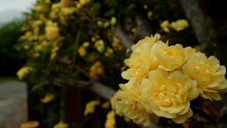 Olde world yellow rose