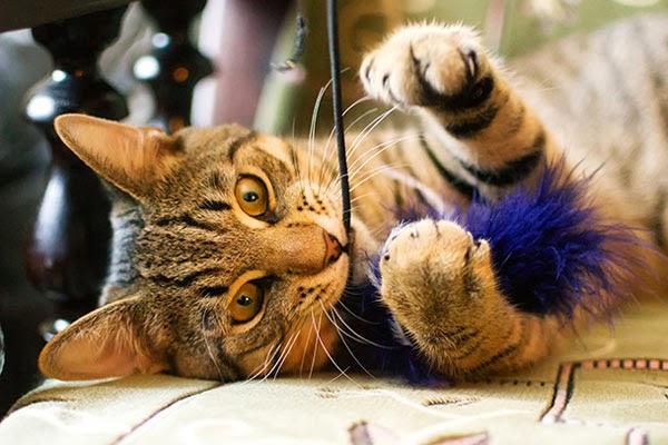 как играть с кошкой удочкой дразнилкой