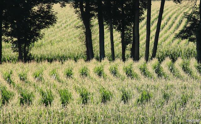 Champs de maïs en Béarn