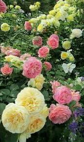 Foto kebun bunga mawar