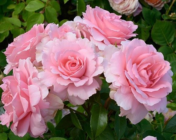 You're Beautiful сорт розы купить саженцы в Минске фото