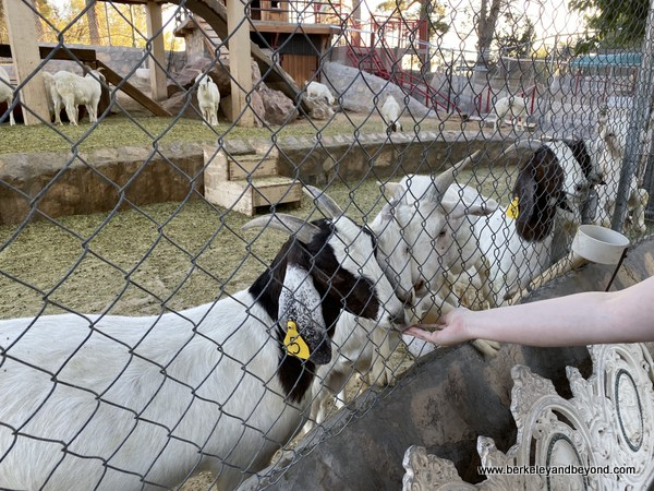 feeding goats at Cattleman's Steakhouse in Fabens, Texas