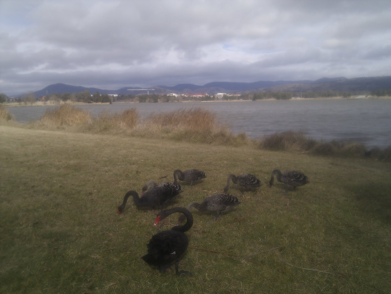 The bevy of black swans living in my local lake
