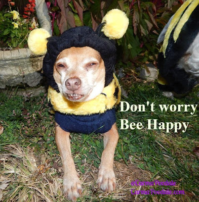 Chihuahua named Scooby Doo dressed like a bee
