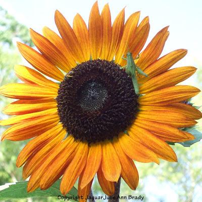 A healthy green grasshopper sitting on a warm sunflower blossom
