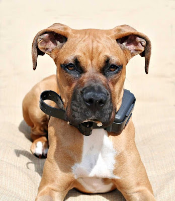 A Boxer dog wears an electronic collar even though there are risks to using them