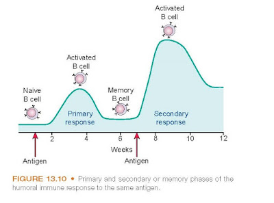 Primary and secondary or memory phases of the humoral immune response to the same antigen.