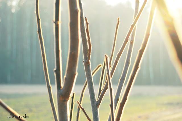 sumak odurzający, rhus typhina, dzikie rośliny jadalne, luty