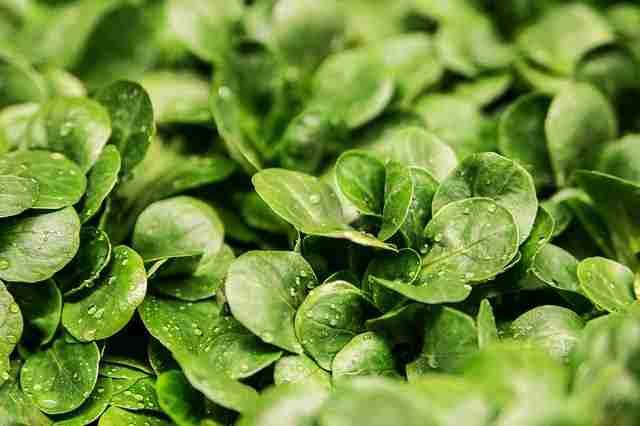 Arugula allergy facts- Arugula nutrition
