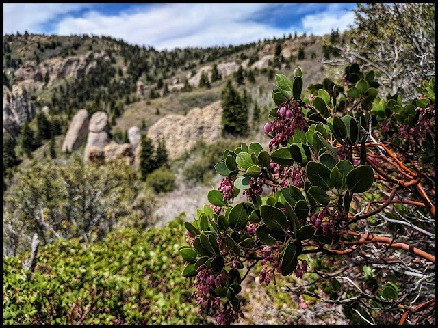 Greenleaf Manzanita bushes up at top of the Maple canyon Loop Trail