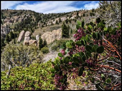 Greenleaf Manzanita bushes up at top of the Maple canyon Loop Trail