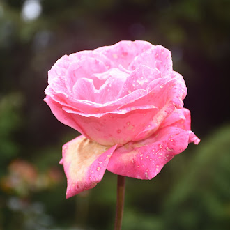 Pink Rose @ Rose Garden Ooty