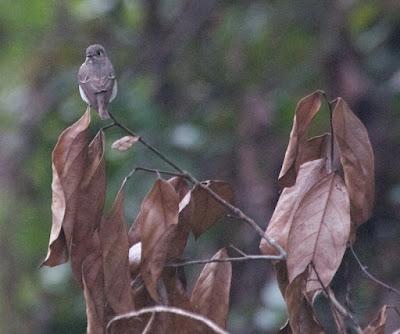 Asian Brown Flycatcher (Muscicapa dauurica)
