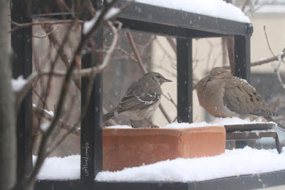 "View three of three images atop this entry. This picture shows two birds standing on a garden shelf during a snowfall. A Northern mockingbird is on the left and a Mourning dove is on the right.  These bird types are featured in my book series, ""Words In Our Beak."" Info re my books is included within another post on this blog @ https://www.thelastleafgardener.com/2018/10/one-sheet-book-series-info.html"