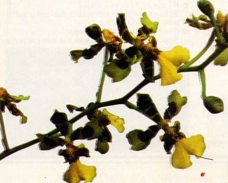 Anggrek oncidium Lidah