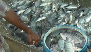 Ternak Ikan Nila