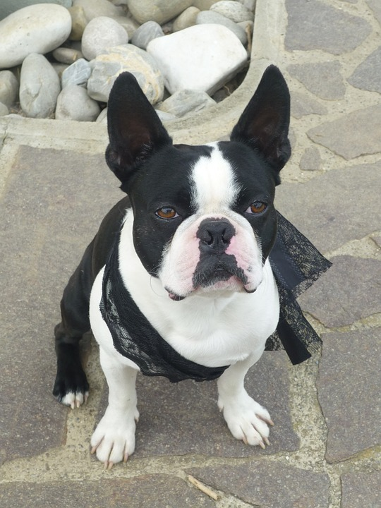 "Some Facts about the Boston ""Bull"" Terrier Dog"