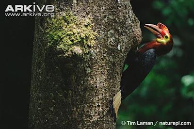 Rufous headed Hornbill