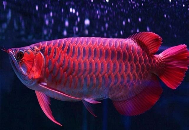 makanan ikan arwana agar warnanya bagus