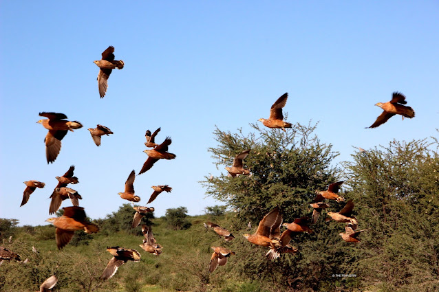 A large group of 27 wild doves flying under a blue sky.
