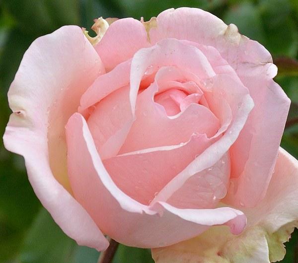 Roberto Capucci сорт розы фото