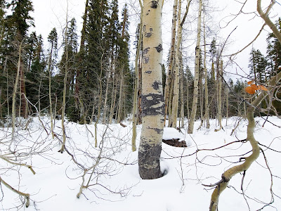 Same aspen trees in the snow, showing young shoots sprouting up