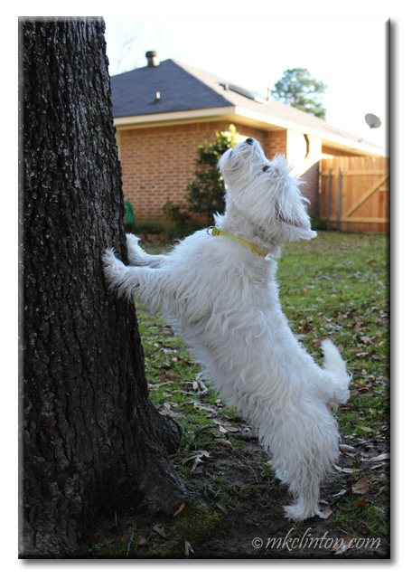 Pierre Westie has a squirrel tree'd