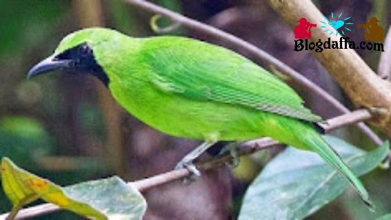 Ciri-ciri burung cucak ijo Kalimantan