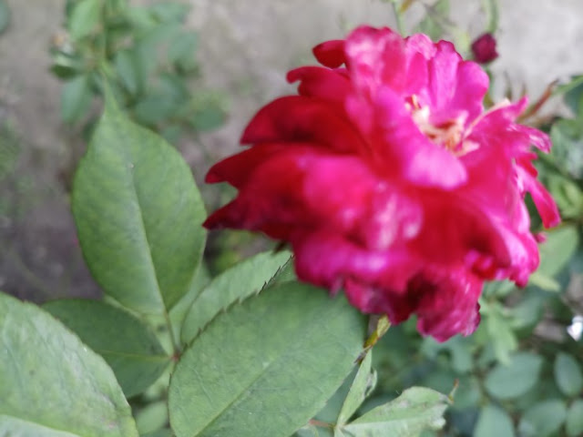 Beautiful pink colored rose flower