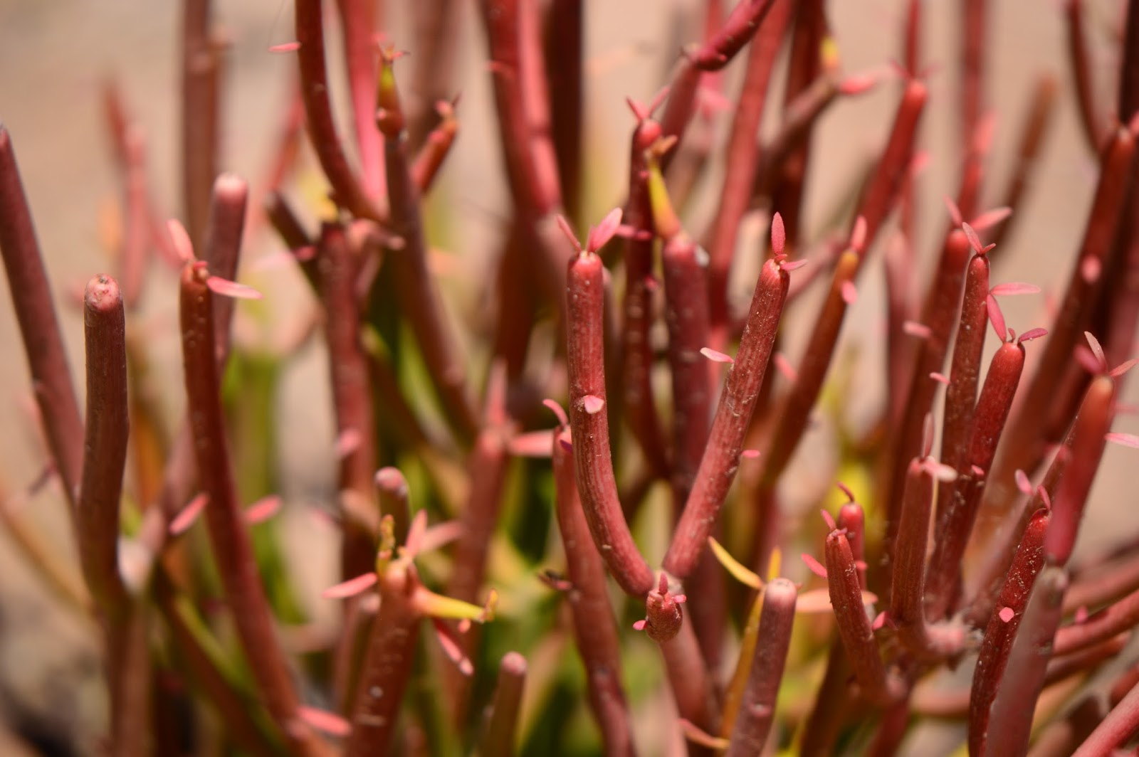 "Euphorbia ""Firesticks"""