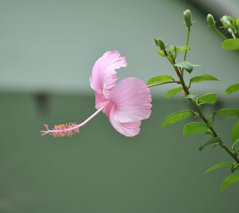 Hoa Râm Bụt Màu Hồng Đẹp
