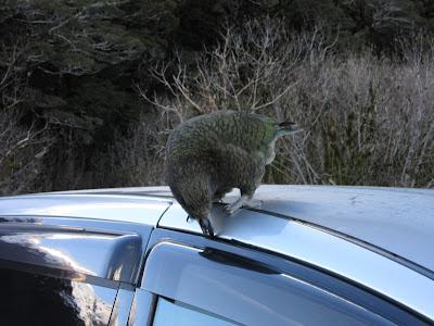 Kea arrancando la goma de mi coche. Parque Nacional Fiordland, Nueva Zelanda