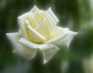 Pétalas de Uma Rosa Branca