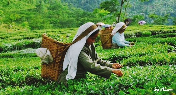 plantatii-de-ceai