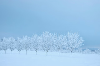 Snow-covered trees in a line on a blue field with a blue background. By Tomas Tuna on Unsplash.