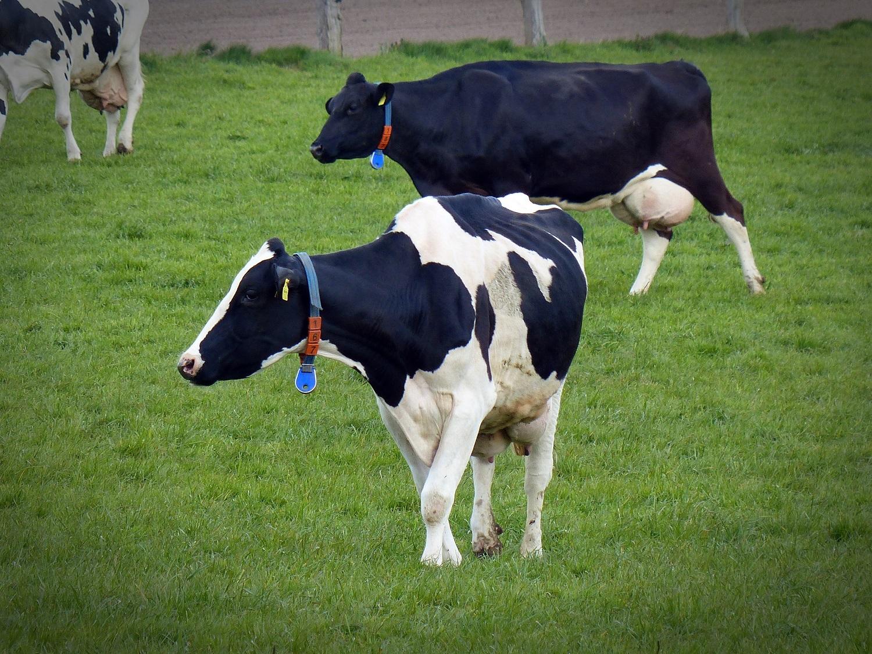 No período de transição das vacas, doenças podem afetar até 60% do rebanho, alerta Auster Nutrição Animal
