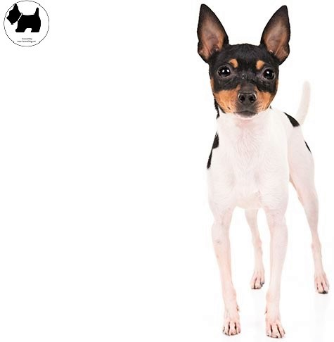 Cutest Dog Breeds, Best Dog, Toy Fox Terrier Dog puppies
