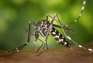 Mosquito Aedes aegypti - mosquito da dengue