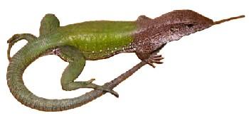 Calango-Verde (Ameiva ameiva)